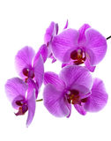 Branch of blooming orchid Royalty Free Stock Image