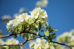 Branch of blooming pear blossoms on a sunny day in spring Royalty Free Stock Images