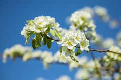 Branch of blooming pear blossoms on a sunny day in spring Royalty Free Stock Photography