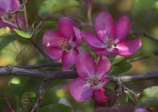 Branch of Blooming Pink Apple Tree Close Up View Royalty Free Stock Photography