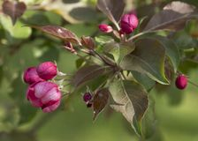 Branch of Blooming Pink Apple Tree Close Up View Royalty Free Stock Photo