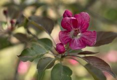 Branch of Blooming Pink Apple Tree Close Up View Stock Photo