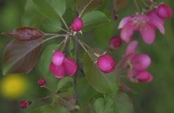 Branch of Blooming Pink Apple Tree Close Up View Stock Image