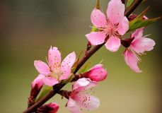 A branch of pink peach flowers. A branch of blooming pink peach flowers in spring royalty free stock photo