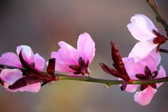 A branch of pink peach flowers royalty free stock image