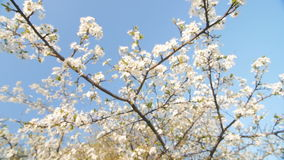 Branch of a blooming plum tree with beautiful white flowers. Slow motion. stock video footage