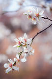 Branch of blooming plum tree Stock Images