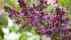 Blossoming purple lilac. Branch of a blooming purple lilac on a bush with green leaves stock video