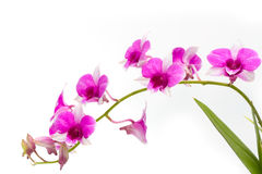 Branch blooming purple orchid isolated Stock Image
