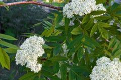 Branch of blooming rowan. In garden stock photography