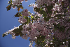 Branch of blooming sakura Royalty Free Stock Photos