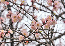Branch of blooming sakura flowers Stock Images