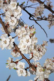 Branch of blooming sakura flowers Royalty Free Stock Image