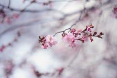 Branch of blooming sakura Stock Photos