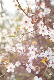 BRANCH OF BLOOMING SPRING PLUM FLOWERS ON SUNRISE LIGHT. BEAUTY BRANCH OF BLOOMING SPRING PLUM FLOWERS ON SUNRISE LIGHT royalty free stock images