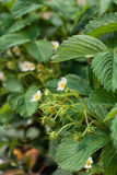 Branch of blooming strawberries Royalty Free Stock Photography