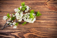 Branch blooming tree plum on wooden board. Photo Stock Image