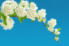 Branch of blooming white spirea on a blue background. copy space. For text or logo Royalty Free Stock Image