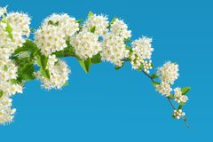 Branch of blooming white spirea on a blue background. copy space. For text or logo Stock Image