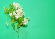 A branch of blooming white spirea on a green background. copy sp. Ace for text or logo Royalty Free Stock Photography