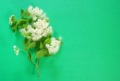 A branch of blooming white spirea on a green background. copy sp. Ace for text or logo Stock Photos