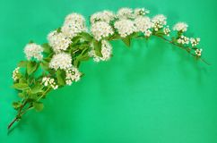 A branch of blooming white spirea on a green background. copy sp. Ace for text or logo Stock Image
