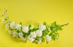 Branch of blooming white spirea on a yellow background. copy spa. Ce for text or logo Stock Photos