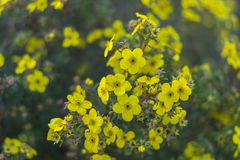 Branch of blooming yellow flowers on a green blurred background Stock Photo