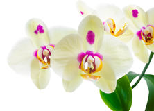 Branch of blooming yellow with lilac spots orchid flower Royalty Free Stock Image