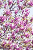 Bloomy magnolia royalty free stock photos
