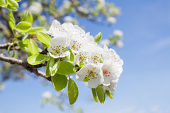 Branch of  blossom. Branch of  pear blossom with white flowers against the blue sky Stock Photography