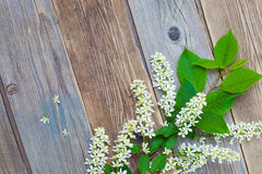 Branch of blossom bird cherry on aged boards antique table Royalty Free Stock Photos