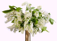 Branch and blossom of bird cherry Prunus padus. Closeup. Bird cherry branch . bird cherry tree branch with flowers Royalty Free Stock Images