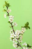 Branch of blossom cherry Stock Photos