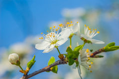 Branch in a blossom Royalty Free Stock Photo