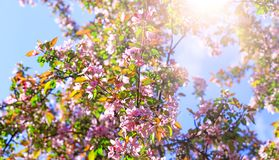 Branch of blossom flowers with pink and red petals on background of blue sky. Easter background with blossom blooming in royalty free stock images