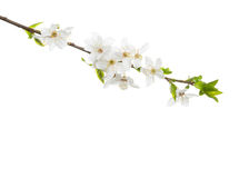 Branch in blossom isolated on white background. Stock Photos