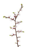 Branch in blossom isolated on white. Royalty Free Stock Photo