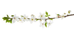 Branch in blossom isolated on white. royalty free stock photos
