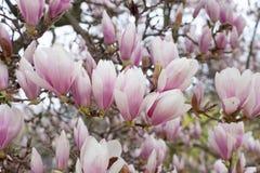 Branch of blossom magnolia Stock Photo
