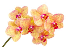 Branch of blossom Phalaenopsis orchid Royalty Free Stock Photo