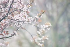 Branch, Blossom, Spring, Cherry Blossom royalty free stock photography