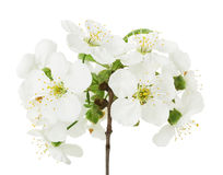 Branch blossom on white background Royalty Free Stock Photo