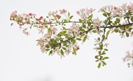 Branch of blossom on white background Stock Image
