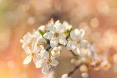 Branch of blossomed tree - Flowering, blooming fruit tree stock photo