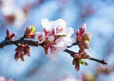 Branch of the blossoming almonds against the background of the blue sky. Springtime. Spring flowers blossom background. stock image