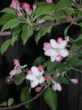 Branch of blossoming apple on the background of the door. Spring collorites. royalty free stock image