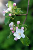 Branch blossoming apple Stock Images