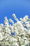 Branch blossoming apple-tree Royalty Free Stock Photography
