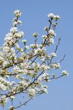 Branch of a blossoming apple-tree Stock Photos
